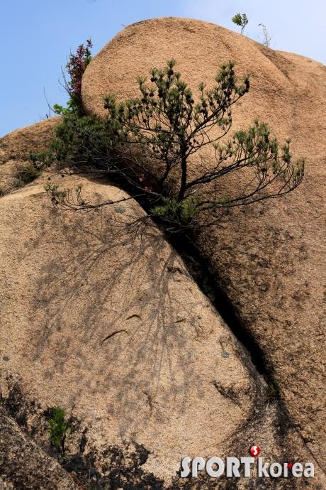 북한산의 강인한 소나무